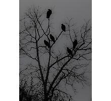 Buzzard Silhouettes Photographic Print