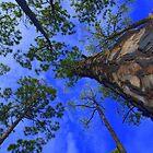 Tall Pine by Kenneth Purdom