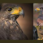 The Majesty of Falconry by Larry Lingard-Davis