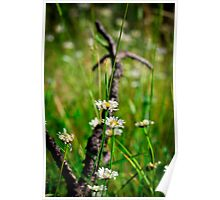 Meadow Daisies Poster