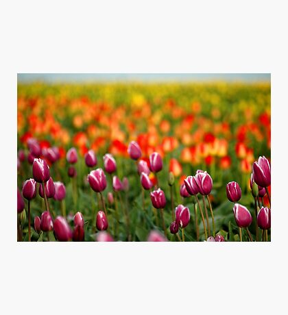 Layers Of Tulips Photographic Print