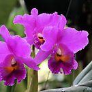 Cattleya Pumpernickel Orchid by Rosalie Scanlon