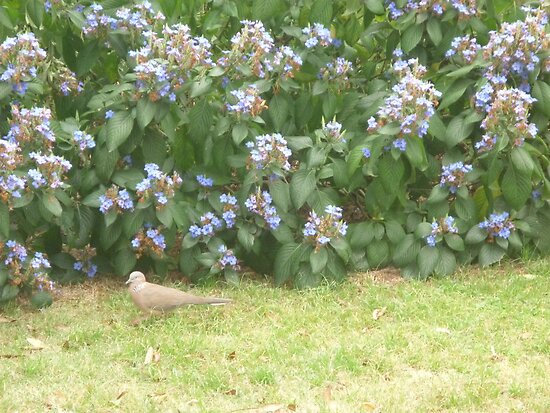 Dove walking into bushes by Joseph Green