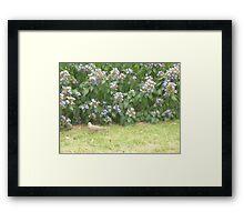 Dove walking into bushes Framed Print