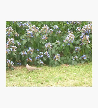 Dove walking into bushes Photographic Print