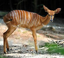 Female Nyala - Singapore. by Ralph de Zilva