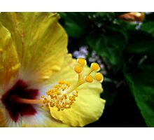 Yellow Hibiscus Photographic Print