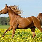 Arab horse stallion by Manfred Grebler