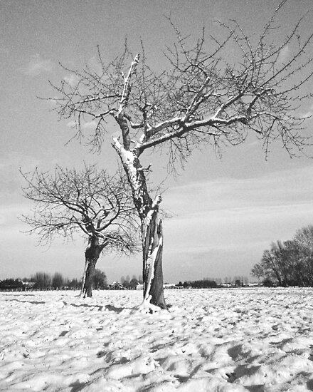 Old Cherry Orchard in Winter by Steven House