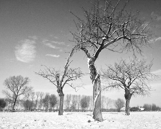 Twisted Cherry Trees in Winter by Steven House