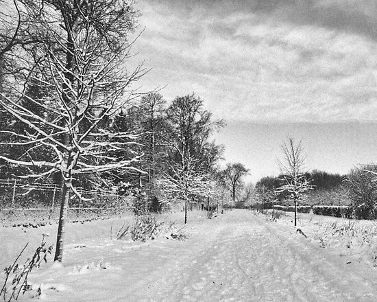 Young Beech Avenue in Winter by Steven House