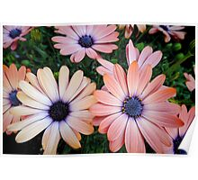 African Daisies Zion 'Copper Amethyst' Poster
