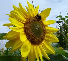 bright sunflower and bumble bee by jessstewart