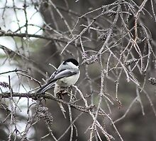 Black Capped Chickadee by Alyce Taylor