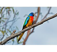 Scarlet-chested Parrot Photographic Print