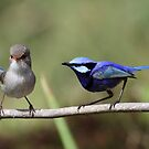 splendid fairy wren pair by birdpics