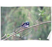 Blue wren, Deep Creek,S.A. Poster