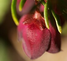 Brown Boronia (2) by kalaryder