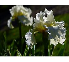 Bearded Iris - White Lightening Photographic Print