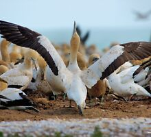 YES, I AM READY FOR MY FIRST TAKE OFF, REACH FOR THE SKY ! Cape Gannet {Morus capensis}, Bird Island, Lamberts Bay, South Africa by Magriet Meintjes