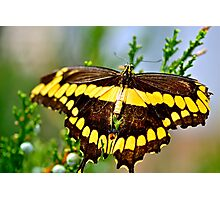 Black and Yellow Beauty Photographic Print