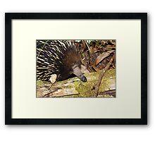 Echidna 2 - Spiny Anteater - Gippsland Framed Print