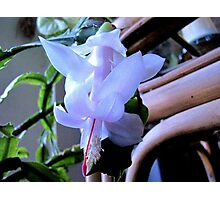 First Christmas Cactus Bloom For 2011 Photographic Print