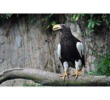 Steller's Sea Eagle - Singapore. Photographic Print