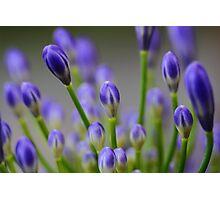 """Blue Buds"" Photographic Print"