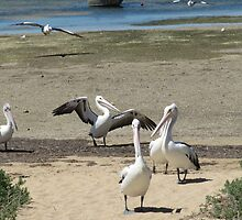 'YIPPEE!' IT'S FEED TIME. Pelicans at Venus Bay. by Rita Blom
