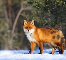 Winter fox by Remo Savisaar