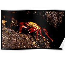 Red Crab (Galapagos) Poster