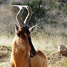 Red Hartebeest - Alcelaphus caama by Shaun Swanepoel
