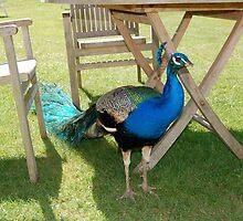 Peacock by Randen Weinholtz