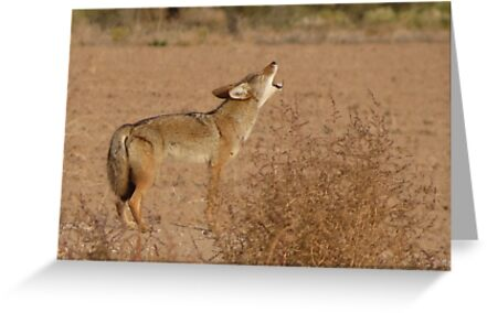 Coyote Serenade  by Kimberly Chadwick