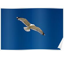 Seagull in flight. Poster