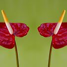 Anthurium by Aase