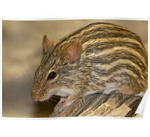 Striped grass mouse -II- Poster