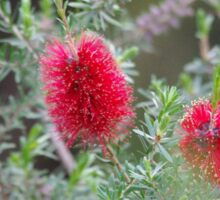 Bottlebrush, flower of beauty Sticker