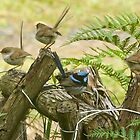 Fairy wrens, once more , upgraded by Ron Co