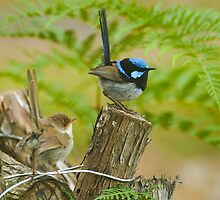 Fairy Wren at 400 ISO -low for me , upgraded? by Ron Co