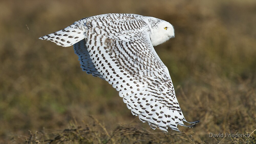 Snowy Owl In Flight by David Friederich