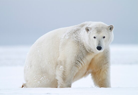 Polar Bear by Gina Ruttle  (Whalegeek)