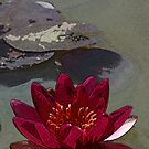 Waterlily - posterised art by Rob Chiarolli