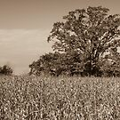Guarding The Corn Field by Robert Kelch, M.D.