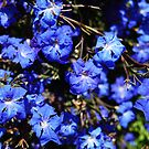 Blue Lechenaultia by Eve Parry