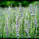 ~ Lovely Lavender ~ by Leeo