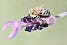 Lavendar and Bee by Karen Tregoning