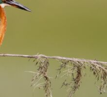 Kingfisher (Alcedo atthis) on Reed Sticker