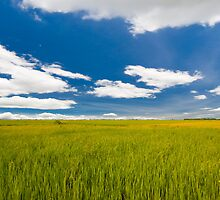 rice farm under the blue sky  by hinnamsaisuy